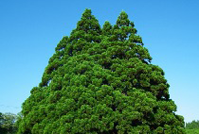 新庄最上地域は巨木の里となっております