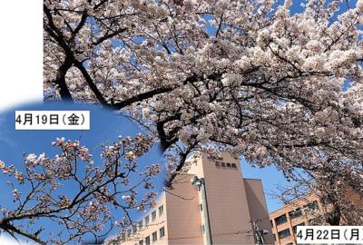 桜!ついに開花しました♪
