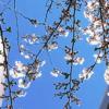 桜咲く!!!