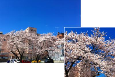 満開の桜が励ましてくれています!