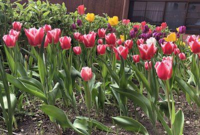 中庭のチューリップが咲き誇っています